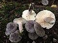 Lactarius mammosus Fr 677732.jpg