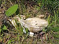 Lactarius vellereus LC0113.jpg