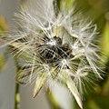 Lactuca canadensis WILD LETTUCE (3362993486).jpg