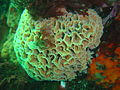 Lacy false coral at Bakoven Rock DSC11038.JPG