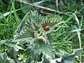 Ladybird on a nettle - geograph.org.uk - 454368.jpg