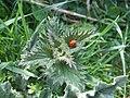 Ladybird on a nettle - geograph.org.uk - 454368.jpg