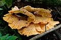 Laetiporus sulphureus (41628842995).jpg