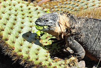 Galapagos land iguana - Feeding on fallen cactus pads