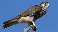 Lanner falcon, Falco biarmicus, at Kgalagadi Transfrontier Park, Northern Cape, South Africa (34415574562).jpg