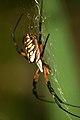 Large Spider (Argiope) (41909442).jpg