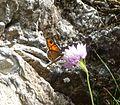 Large Wall Brown. Lasiommata m. maera f.adrasta - Flickr - gailhampshire (1).jpg