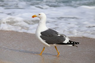 Yellow-footed gull Species of bird