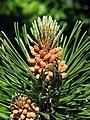 Latschenkiefer (Pinus mugo), männliche Blüten.jpg