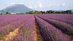 Lavender field - panoramio.jpg