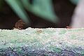 Leafcutter ant at Chester Zoo 2.jpg