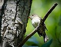 Least Flycatcher (7337766412).jpg