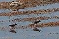 Least Sandpiper & Baird's Sandpiper Sweetwater Wetlands Tucson AZ 2017-04-21 08-15-01 copy (34282446346).jpg