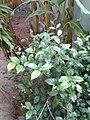 Leaves and trees palavangudi jpg 01.jpg