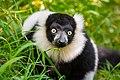 Lemur (26244772149).jpg