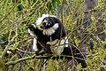Lemur (26618896847).jpg