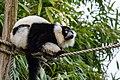 Lemur (26992480518).jpg