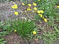 Leontodon saxatilis plant4 (14630696664).jpg