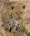 Leopard about to Pounce (36846912845).jpg