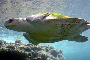 Sea turtle - An olive ridley sea turtle, a species of the sea turtle superfamily