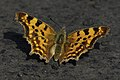 Lepidoptera SNY01536 (51316585355).jpg