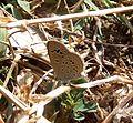 Lesser Grass Blue.Zizinia otis - Flickr - gailhampshire (1).jpg