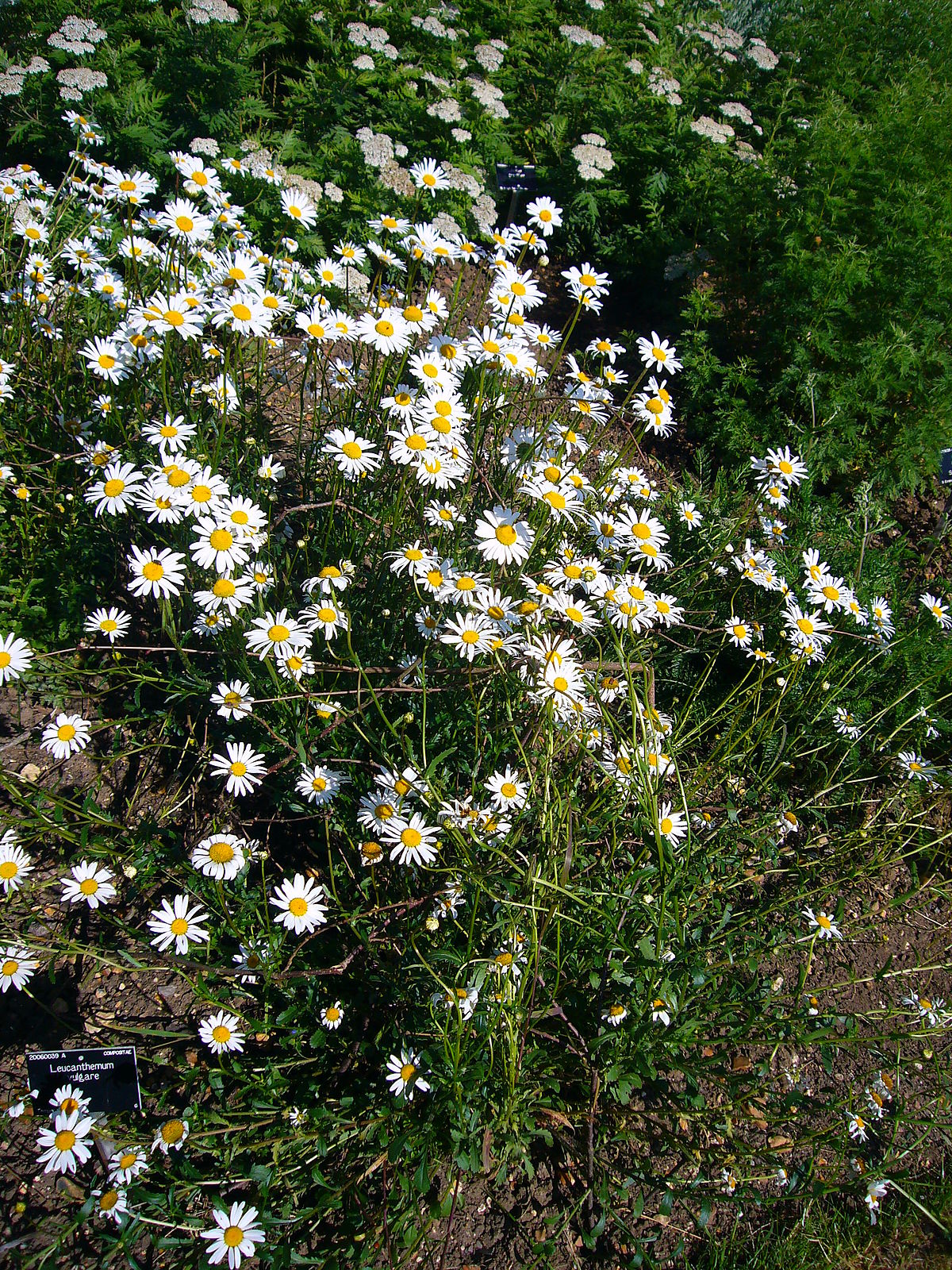 Marguerite commune wikip dia - Image fleur marguerite ...