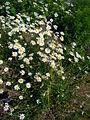 Leucanthemum vulgare 2007-06-02 (plants).jpg