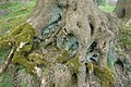 Lichen and moss on tree roots - geograph.org.uk - 163234.jpg