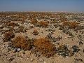 Lichens, Skeleton Coast, Namibia (3997880865).jpg