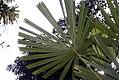 Licuala spinosa 12zz.jpg