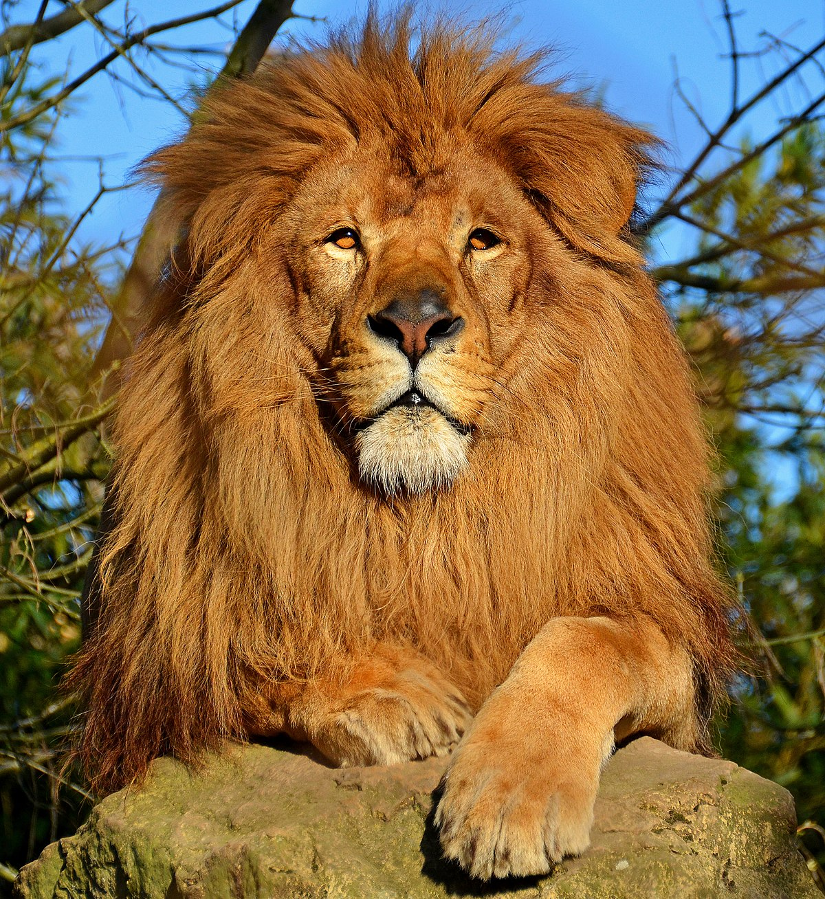 Lion wikip dia - Photo de lion a imprimer en couleur ...