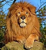 Lion d'Afrique.jpg
