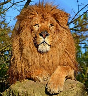 Lev pustinný (Panthera leo) je velká kočka rodu Panthera, s areálem přirozeného výskytu v Africe a indickém svazovém státu Gudžarát