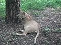 Lion from Bannerghatta National Park 8493.JPG