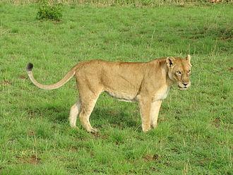 East African lion - Lioness in Murchison Falls National Park, Uganda