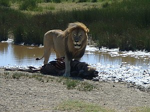 East African lion - Male lion in the Serengeti
