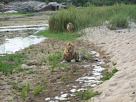 Lions on the bank of the Sand River, Sabi Sand Game Reserve.jpg