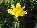 Lirio amarillo - Azucena amarilla (Hemerocallis lilioasphodelus) (14781712276).jpg