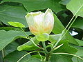 Liriodendron tulipifera3.jpg