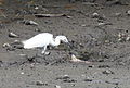 Little Egret in Sungei Buloh.jpg
