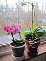 Little orchid D1212 and sisters.jpg