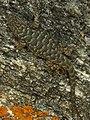 Lizard (42200207620).jpg