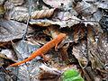 Lizard Elk Knob NC SP 1010 (3774136218).jpg