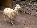 Llama zoologico expanzoo.jpg