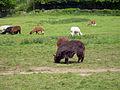 Llamas (3522534738).jpg