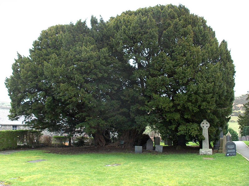 4000 year old yew