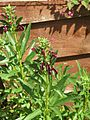 Lobelia polyphylla (9491841619).jpg