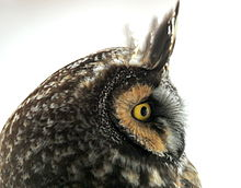 Parts Of The Ear >> Long-eared owl - Wikipedia