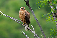 Long-legged Buzzard,female.jpg